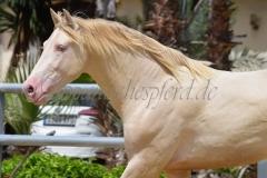 Oropendolo-ARL_15